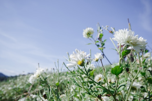 Campos de flores brancas, dendranthema morifolium, cultivadas nas terras altas