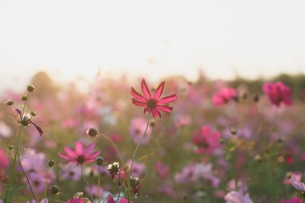 Campos de flores lindo cosmos com luz solar