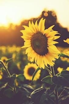 Campos de girassóis com luz do sol no pôr do sol