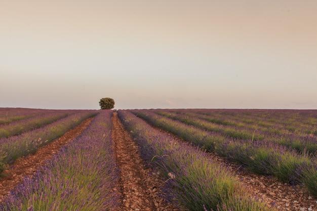 Campos de lavanda com árvore no fundo. conceito de agricultura