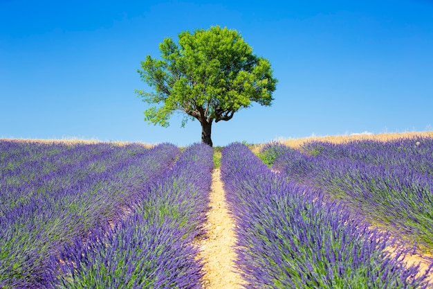 Campos de lavanda com árvores, provence francesa