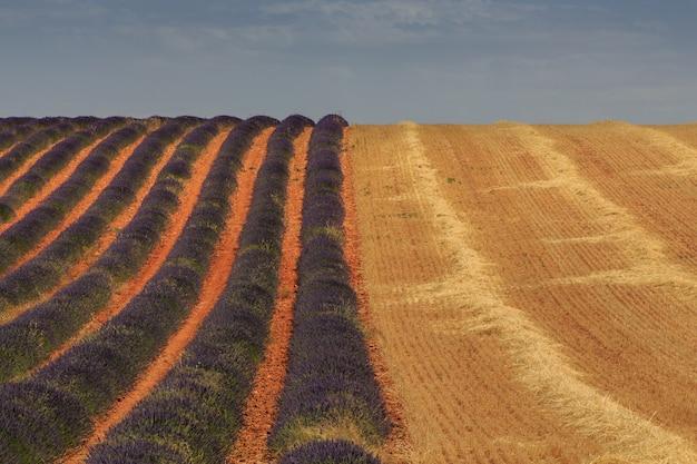 Campos de lavanda e trigo coletados. conceito de agricultura