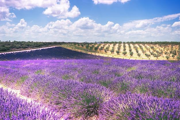 Campos de lavanda, provence, plateau valensole.