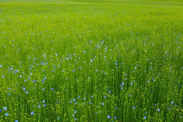 Campos de linho na primavera