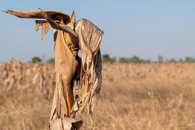 Campos de milho afrer colheita no céu do sol