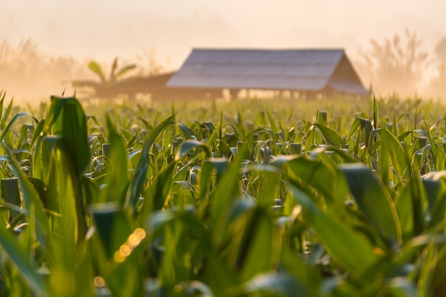 Campos de milho durante o amanhecer com uma cabana