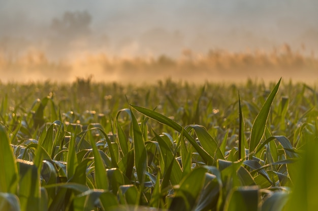 Campos de milho durante o nascer do sol da manhã na província de mae hong son, tailândia.