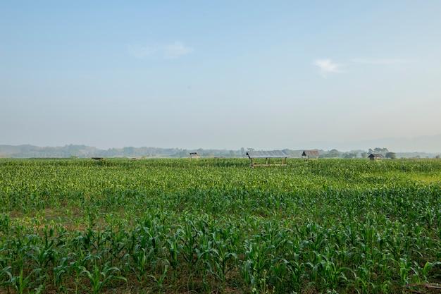 Campos de milho verde na névoa.