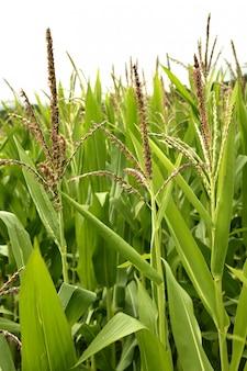 Campos de milho verde paisagem ao ar livre
