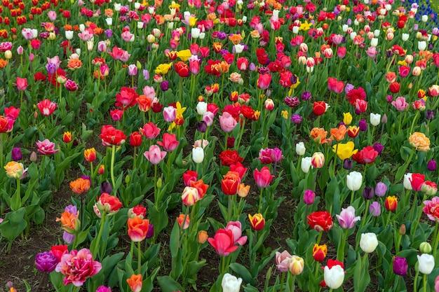 Campos de primavera de tulipas florescendo. cena ao ar livre de beleza. paisagem de fazenda de flores coloridas