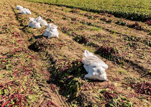 Campos de processo de colheita manual de raízes de beterraba.