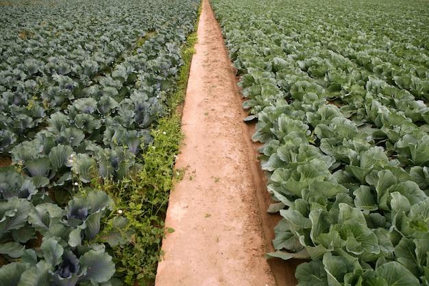 Campos de repolho, fileiras de comida vegetal