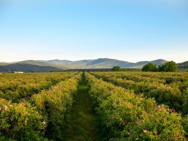 Campos de rosas no vale das rosas perto de kazanlak, bulgária. arbustos sem pétalas.