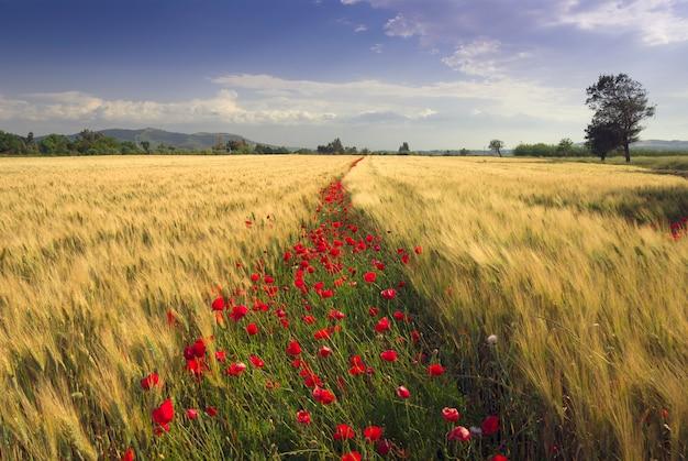 Campos de trigo e papoulas em flores. sardenha itália Foto Premium