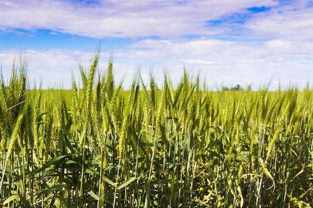 Campos de trigo verde na pampa argentina