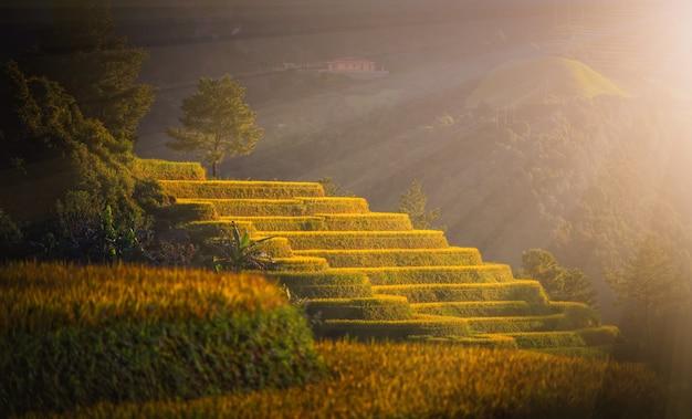Campos do arroz em terraced com o pinheiro no por do sol em mu cang chai, yenbai, vietname.