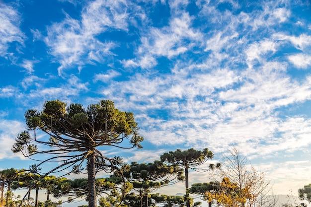 Campos do jordão, brasil. araucari, muito típico da cidade