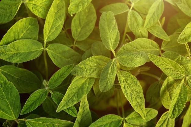 Campos experimentais de soja para modificação genética ou fazenda.