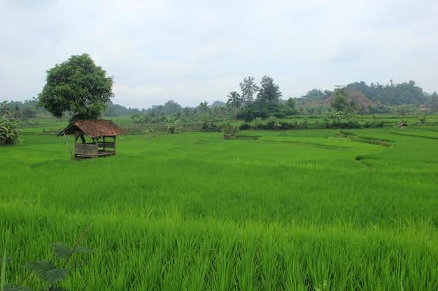 Campos extensivos de arroz em indonésio