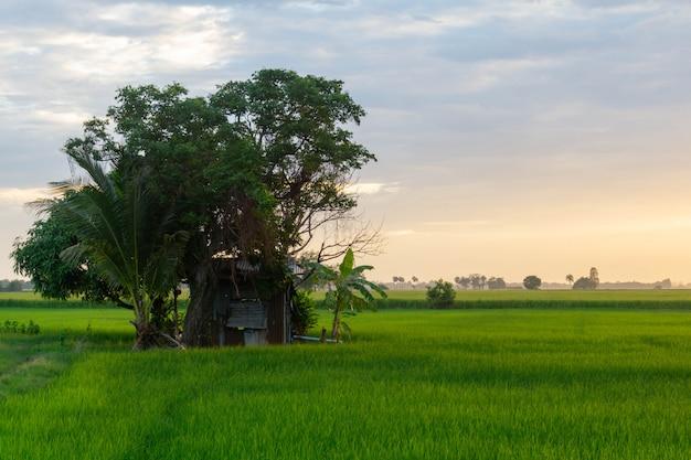 Campos verdes e cabana no arrozal, no crepúsculo o céu é dourado.