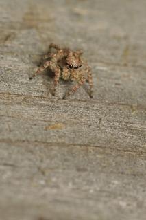 Camuflada saltando aranha