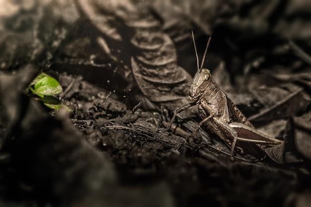 Camuflagem de gafanhoto marrom