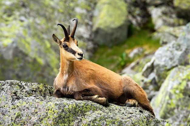 Camurça calma tatra deitado em uma pedra nas montanhas de verão