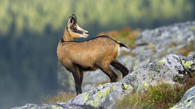 Camurça de tatra em pé no horizonte rochoso nas montanhas e olhando para trás