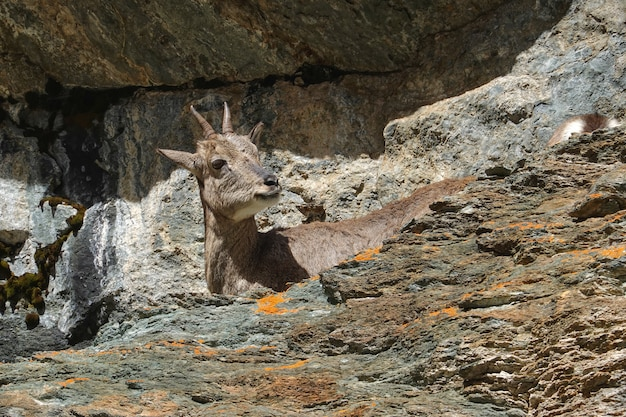 Camurça marrom jovem na reserva nacional de yading