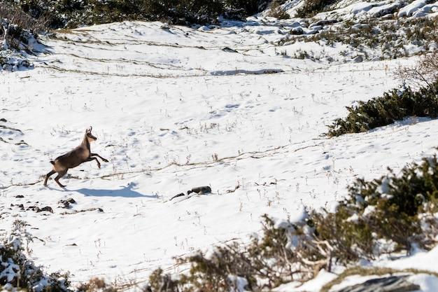 Camurça pulando rodeado de neve nos pirinéus