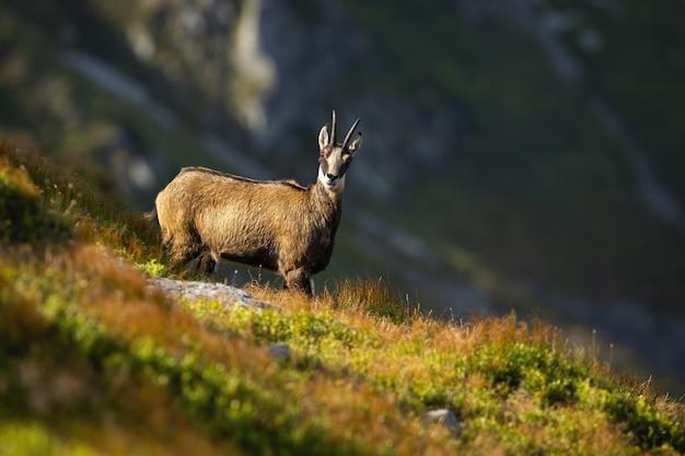 Camurça tatra na encosta de uma colina nas montanhas de verão