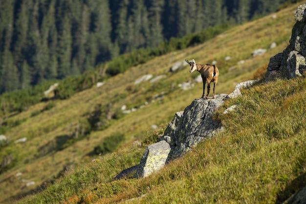 Camurça tatra, olhando para baixo de um penhasco rochoso, escalou nas montanhas
