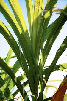 Cana-de-açúcar no campo na luz solar.