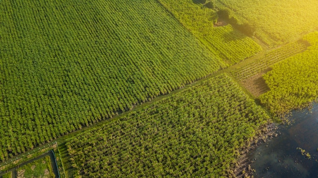 Cana-de-açúcar ou agricultura rural em ban pong, ratchaburi, tailândia