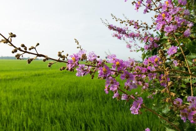 Cananga flores cananga odorata, flor tailandesa (tabak)