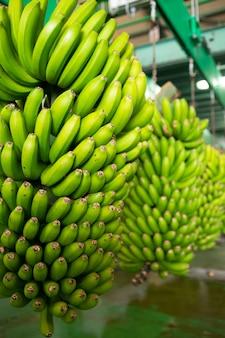 Canárias banana platano em la palma