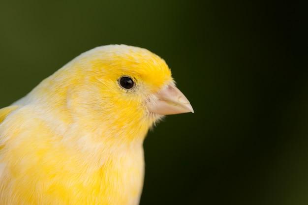 Canário amarelo bonito