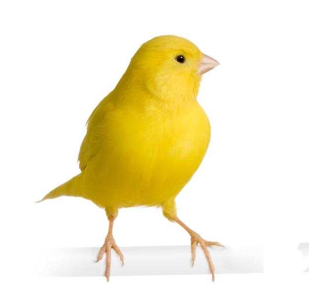Canário amarelo - serinus canaria em seu poleiro isolado