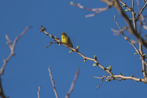 Canário empoleirado nos galhos de uma árvore com o céu azul ao fundo