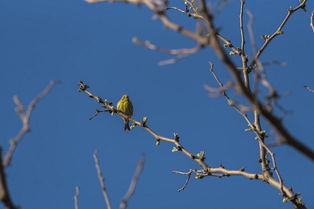 Canário empoleirado nos galhos de uma árvore