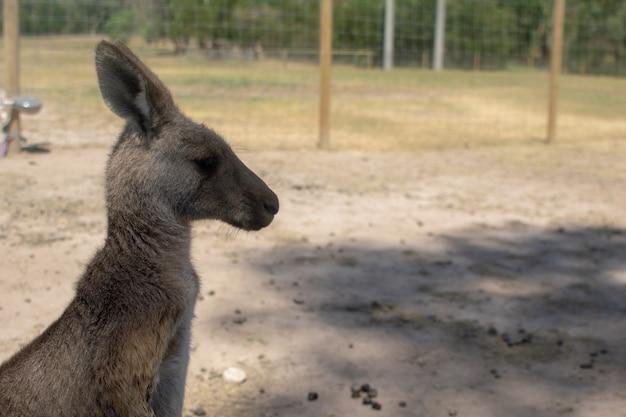 Canguru na fazenda