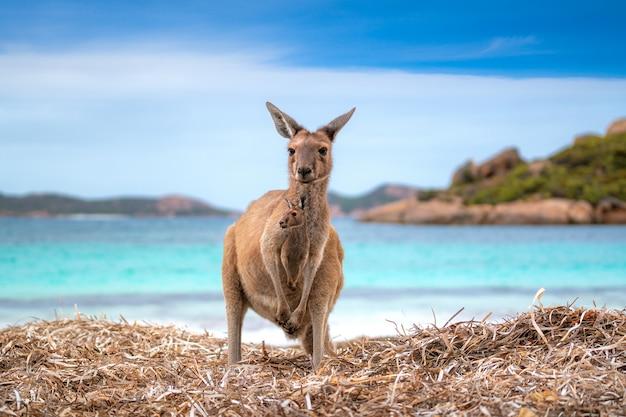 Canguru na praia de lucky, austrália ocidental