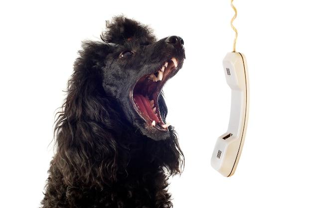 Caniche e telefone