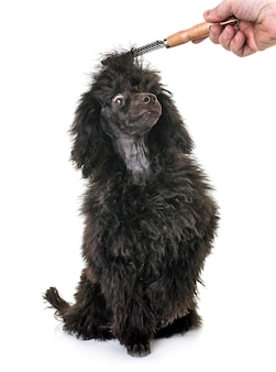 Caniche marrom do filhote de cachorro