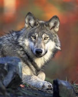 Canídeos lobo canis lupus caçador predador