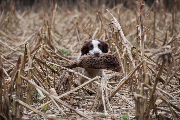 Canino caça animais perna fígado colheita