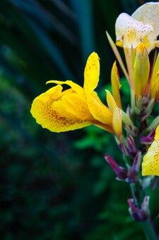 Canna lilly flor