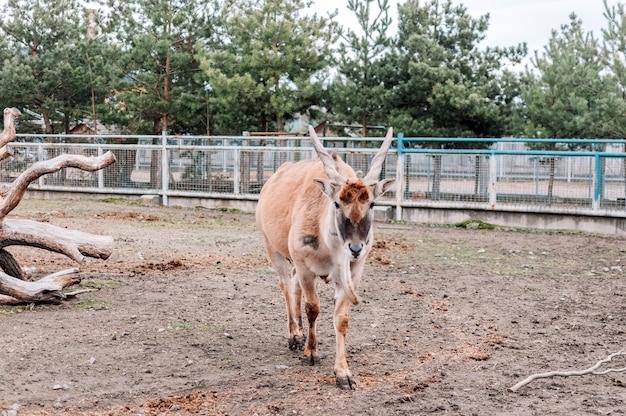 Canna vulgaris anda ao redor de seu cercado na fazenda do zoológico. a maior espécie de antílope encontrada na áfrica do sul e oriental. uma espécie rara de mamíferos. Foto Premium