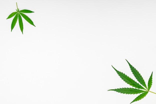 Cannabis de folhas verdes em fundo branco