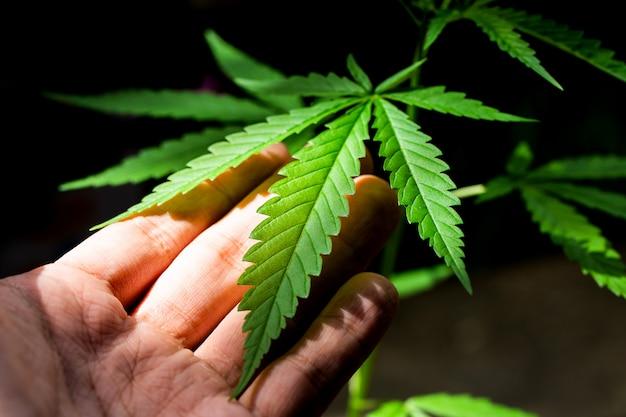 Cannabis em um fundo escuro
